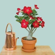 rose red, desertoadeniun obesum, adenium obesum, desert rose, adenium sadnic
