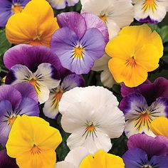 Plentiful pansies. Fall flower