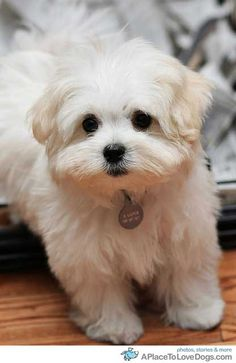 Maltese puppy, how can you not fall in love with him?
