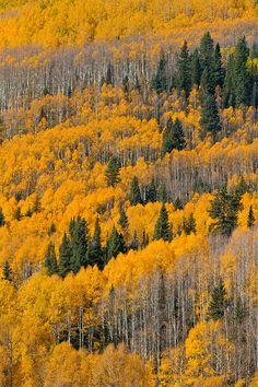 Golden aspen,Colorado Fall