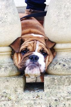 #english #bulldog #englishbulldog #bulldogs #breed #dogs #pets #animals #dog #canine #pooch #bully #doggy