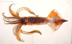 #sealife #marine #squid #cephalopods