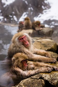 Snow monkeys enjoying hot spring in Nagano, Japan