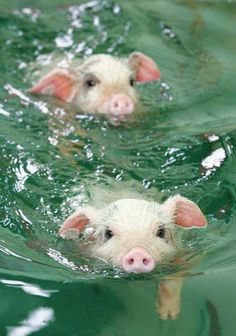 The pigs are swimming!!