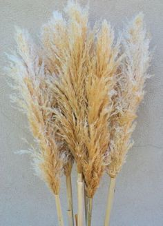 Dried Natural Pampas Grass