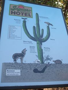 """Los botánicos explican la utilidad de los saguaros, llamándolo """"hotel"""" por su vital importancia para el ecosistema."""