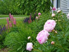 Maine perennial garden in June
