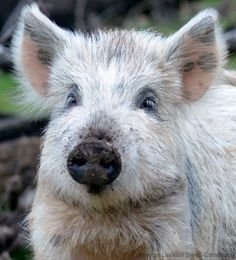 The American Livestock Breeds Conservancy has launched a conservation campaign to keep the Choctaw hog, a heritage swine breed with a population near 100 individuals, from becoming extinct. Photo courtesy American Livestock Breeds Conservancy (HobbyFarms.com)