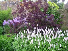 Pale purple Hesperis, alliums, Cotinus coggygria and Persicaria bistorta 'Superba'. Watch the Persicaria as it is vigorous and can be invasive in damp conditions