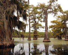 . caddo lake, tree, artist cypress, lakes, lake cypress, cypress caddo, cypress forest