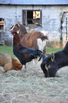 Chickens and Goats
