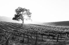 San Luis Obispo wedding photographer Keith Dunlop big oak tree at HammerSky Vineyards