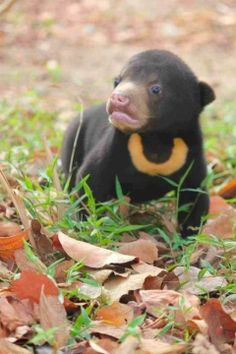 The reclusive Sun Bear one of the 8 species of bear and smallest member of the bear family ~ Wild for Wildlife and Nature