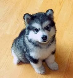 Pomsky Puppy, Pomeranian and Husky breed Tim and I both want one of these puppies so bad but you can't get them in NZ :-(