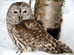 Owl in winter beauti bird, anim, winter, brilliant bird, owls, owl galor