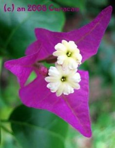 Bougainville on the island of Curacao