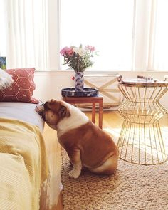 pet, bed, english bulldogs, puppi