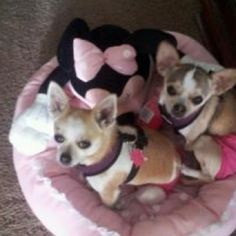 chihauhau's in their new bed