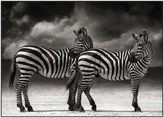 black and white zebra