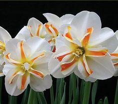 photos of orange narcissus image    December birth month flower