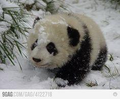 panda bear essay