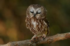 Sleepy Saw-whet Owl