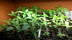 basement hot pepper garden 6 7 weeks old plants march 25 2012 more