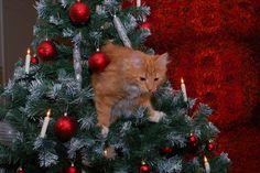 Christmas Tree Cat !