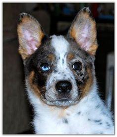 Blue Heeler, but looks like a Texas heeler to me. (Aussie Sheperd x blue heeler) Very pretty pup!