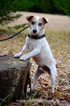 Today's featured Jack Russell rescue for adoption, foster or sponsorship - Cobb!