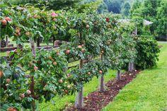 Gravenstein apple espalier
