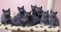 kitty cats, animals, beds, chartreux kitten, amelie
