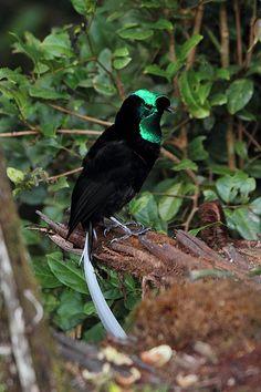 Bird of Paradise, Ribbon-Tailed Astrapia