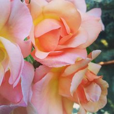 Beautiful flowers. #Pink #Rose #Scent #Summer #Pretty