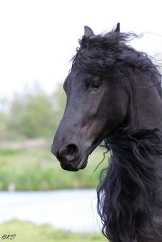 Friesian, my favorite horse breed next to the Clydesdale.