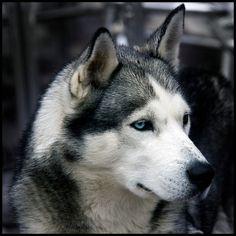 anim, gorgeous dogs, beauti, eye