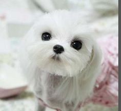 Puppy Cuts - Maltese Dogs Forum : Spoiled Maltese Forums   ...........click here to find out more     http://googydog.com