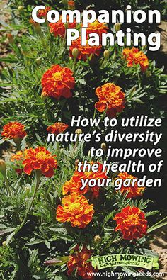Learn more about companion planting in an organic garden