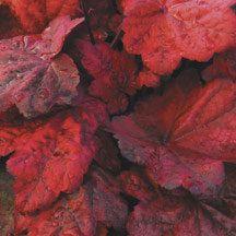 Autumn Leaves Heuchera Coral Bells