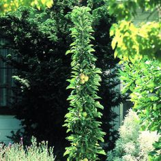 Sam 39 S Condo Landscaping On Pinterest Buxus Stars And Gardening