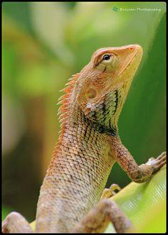 Monitor Lizard <3