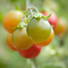 With just a pot and some good soil, you could be harvesting cherry tomatoes until Fall. Growing cherry tomatoes is the best way for newbies to ease into gardening. #tomato #edible #edible #food #backyard #vegetable #gardening