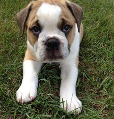 Briggs is a baby old English bulldog. Isn't she precious? Show off your adorable pets by tagging #Petco.