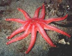 starfish, images - Google Search