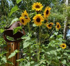 seasons, sunflowers, volunteers, plants, gardens, seeds