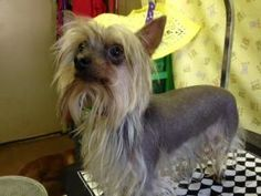 Toby is an adoptable Chinese Crested Dog Dog in Glendale, AZ. Toby is the cutest chinese crested/yorkie mix male. He is 4-5 years old. good with other dogs, sweet little lap dog, very small about 6 po...