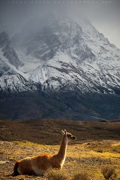 llama in Chile, Patagonia  ♥ ♥ www.paintingyouwithwords.com