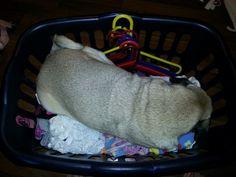 Roscoe prefers the laundry basket