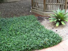 Asiatic Jasmine is an evergreen groundcover that is great for sun or shade locations. This is a good plant to grow under large trees. Florida Friendly