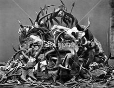 Animal Skulls, Horns, and bones from Poaching, circa 1800s